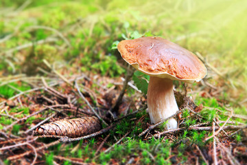 Porcini mushroom in the autumn forest.