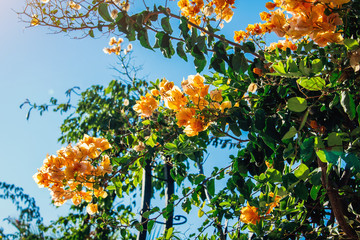Branch of orange bougainvillea flowers on blue sky background