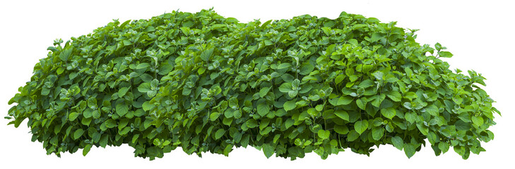 Beautiful fresh green bush isolated on white