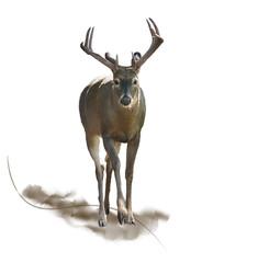 Male Deer watercolor