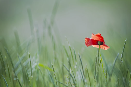 single poppy on green backgound