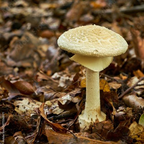 Gelber Knollenblätterpilz Auf Dem Waldboden Im Herbst Stock Photo