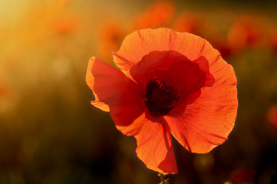 single poppy ot colorful background