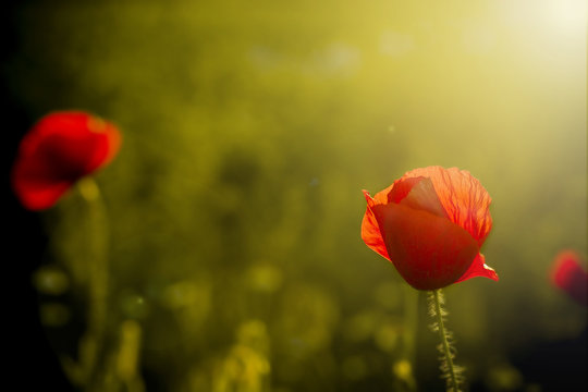 single poppy on dark background