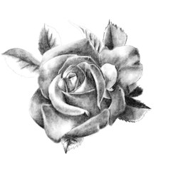 Pencil drawing of a rose closeup on a white background