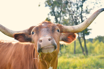 Wall Mural - Longhorn cow looking cute on sunny summer farm.  Natural scenic background for agriculture.