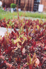 Red beet, like flowers, in the form of decoration of the park