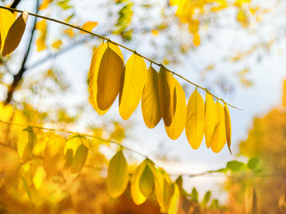 Colorful foliage and gold yellow trees  in a public park in autumn with blue sky.