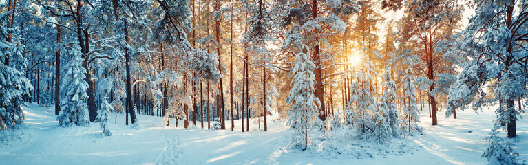 Pine trees covered with snow on frosty evening. Beautiful winter panorama Wall mural