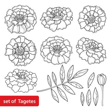 Vector set with Tagetes or Marigold flower, bud and leaf in black isolated on white background. Ornate Tagetes flowers in contour style for summer design, coloring book or Mexican Day of the dead.