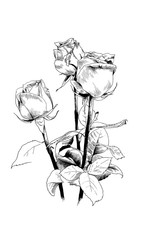 a bouquet of roses, drawn in ink by hand on a white background