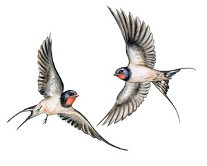 Swallow. Birds in flight isolated on white background. Watercolor. Illustration. Template.