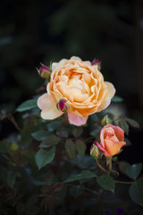 Orange rose in bloom close to rosebud on the plant