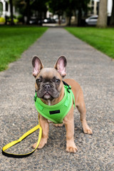 A french bulldog puppy with harness and leash standing on the sidewalk outside.