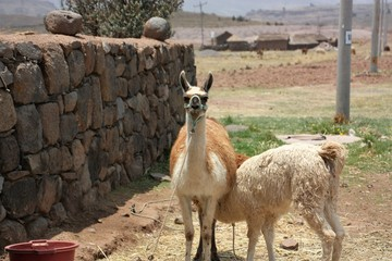 Lama breast feeding looking in the camera