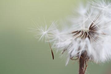 Fallen dandelion seed