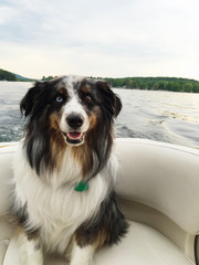 Happy Dog Smiling while Riding in a Boat