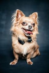 Portrait of a cute tiny dog