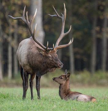 Bull Elk with calf