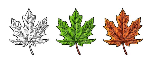 Maple green and orange leaf. Vector vintage color engraving