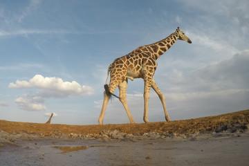 Poster Giraffe Reticulated Giraffes