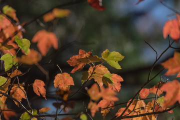 Close-up vibrant leaves changing color during fall season in Mesa, Arkansas, USA. Natural backlit light, soft and selective focus with bokeh. Colorful autumn foliage again dark background.