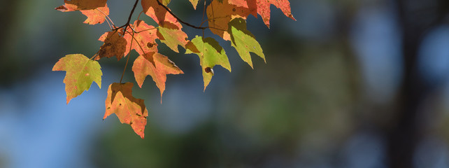 Close-up vibrant leaves changing color during fall season in Mesa, Arkansas, USA. Natural backlit light, soft and selective focus with bokeh. Colorful autumn foliage again dark background. Panorama.
