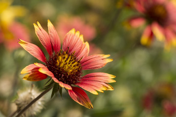 Echinacea flowers in garden- bunch of flowers and buds