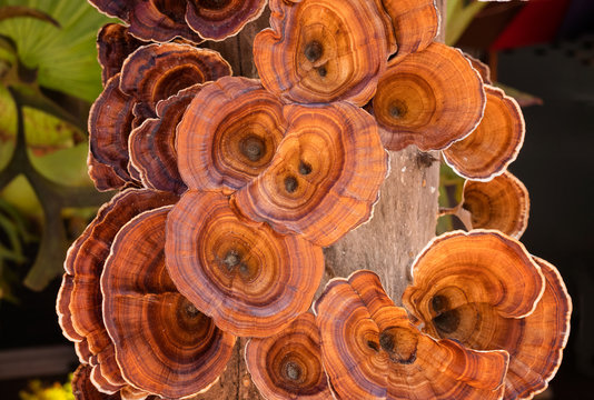 Lingzhi mushroom on driftwood in nature