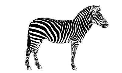Zebra drawn with ink on a white background