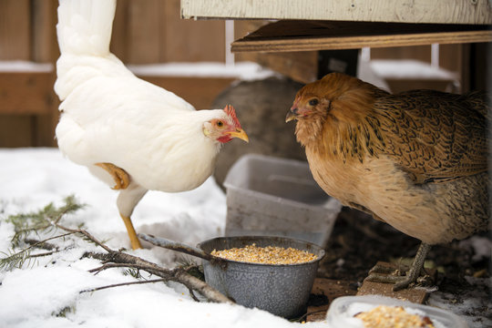 Hens eating in the cold weather