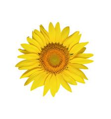 Sunflower flower isolated on white background