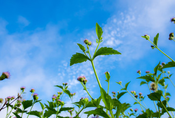 Wall Mural - Small flower of goat weed and blue sky background