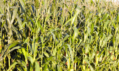 green leaves of corn
