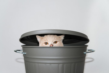 Cute Scottish fold cat rising from a grey bucket with lid.