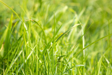 grass background in nature