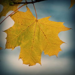 Yellow autumn maple foliage