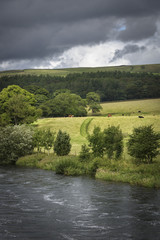 Cows grazing in sunny farmland with river foreground Bolton Abbey England