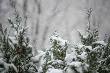 winter scenery with snow falling slowly on needle trees