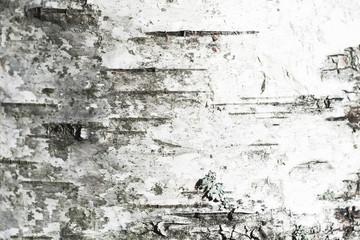 White old birch tree bark. Closeup Wall mural