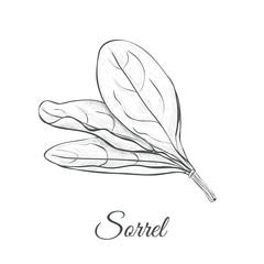 Sorrel hand drawing vector illustration. Sorrel sketch
