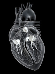 3d rendered medically accurate illustration of the heart valves
