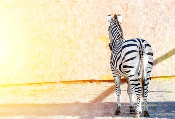 Striped zebra standing backwards. Tail. Black and white stripes. Wild nature. Bright sun light.
