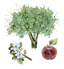 Watercolor painting. Apple tree, red apple and branch with flowers on white background.