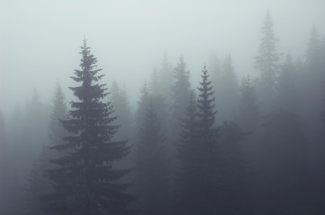 Misty fog in fir forest on mountain