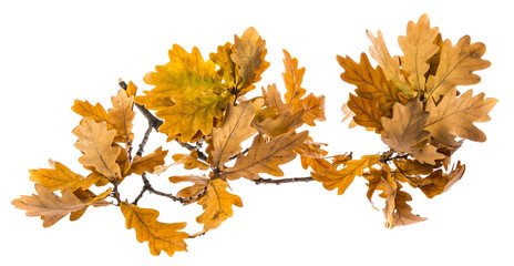 an autumnal oak branch isolated on a white