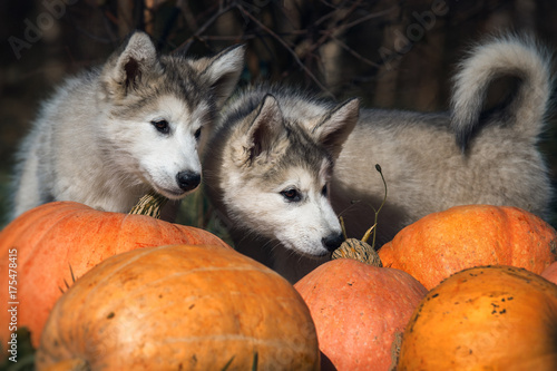 Halloween Puppies With Pumpkins Stock Photo And Royalty Free Images