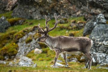 Reindeer, Alkhornet, Svalbard