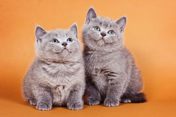 Two fluffy gray British kitten on an orange background
