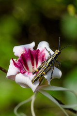 Close-up of black and yellow cricket sitting on beautiful pink exotic flower, Ghana, West Africa